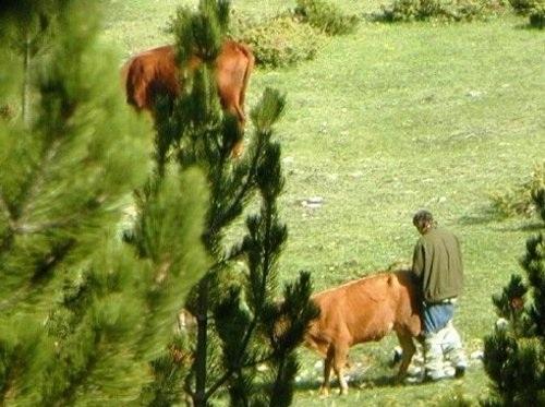 Pillado follando con una vaca